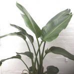 Strelitzia nicholai – plant only