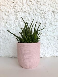 Large Pink Tweed Aloe