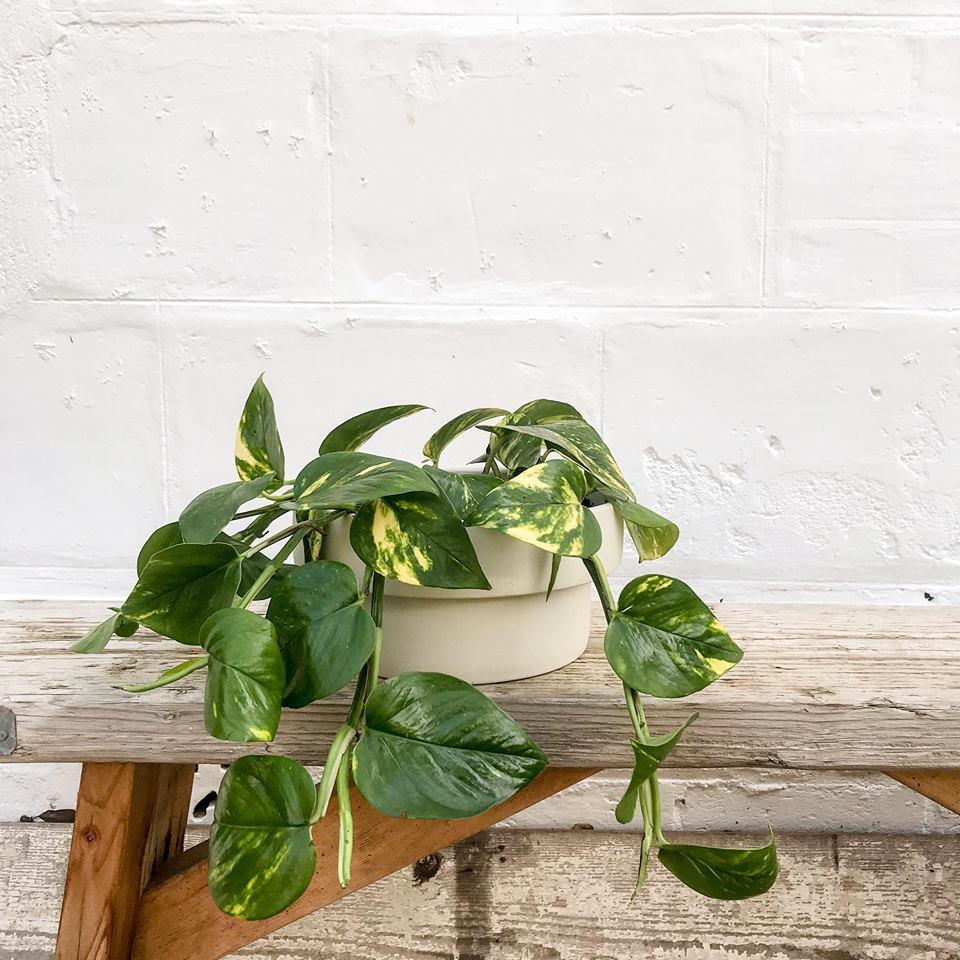 Podium Ivy